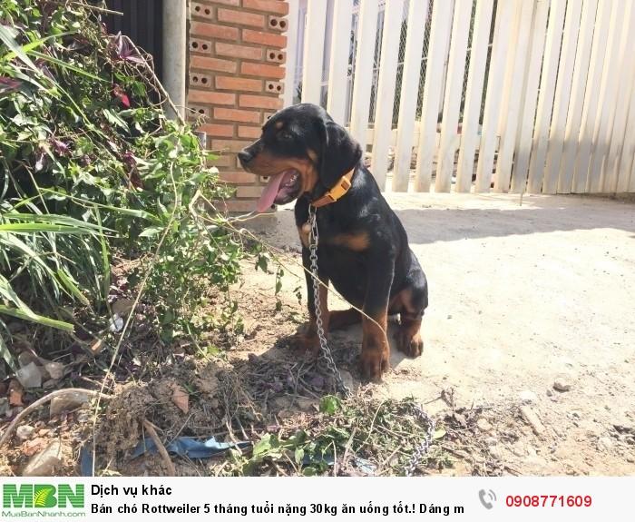 Bán chó Rottweiler 5 tháng tuổi nặng 30kg ăn uống tốt.! Dáng mặt đẹp, hiền.3