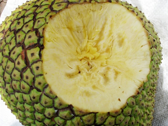 Chuyên cung cấp Giống mít thái ruột đỏ, giống mít không hạt, mít thái, mít trái dài malaysia6