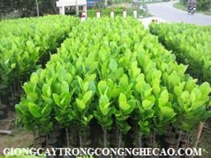 Chuyên cung cấp Giống mít thái ruột đỏ, giống mít không hạt, mít thái, mít trái dài malaysia2
