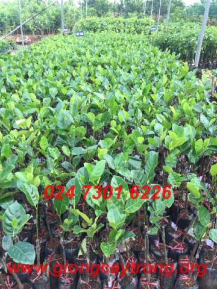 Bán cây giống Mít Thái Siêu Sớm1