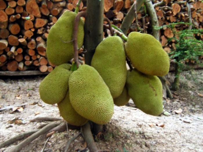 Bán cây giống Mít Thái Siêu Sớm2