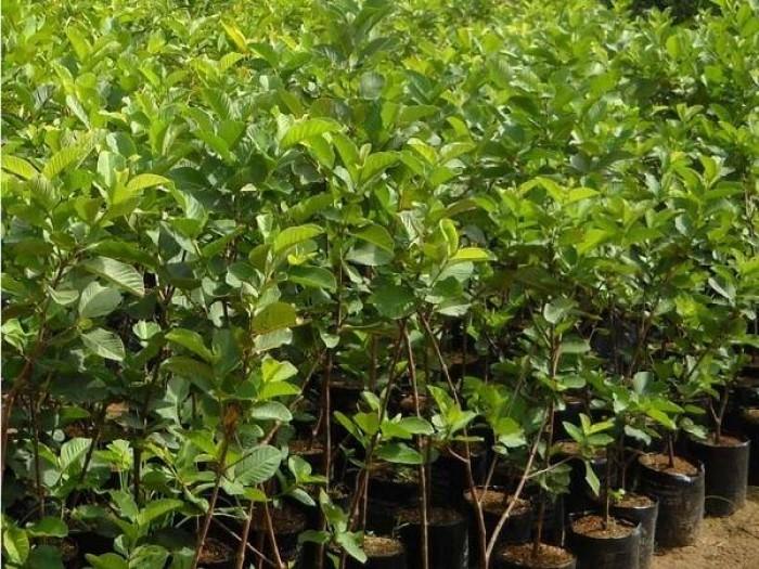 Giống cây ổi nữ hoàng, ổi lê đài loan, ổi ruột đỏ không hạt, ổi tứ mùa, cây giống ổi chất lượng8