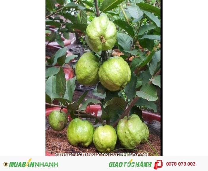 Giống cây ổi nữ hoàng, ổi lê đài loan, ổi ruột đỏ không hạt, ổi tứ mùa, cây giống ổi chất lượng6