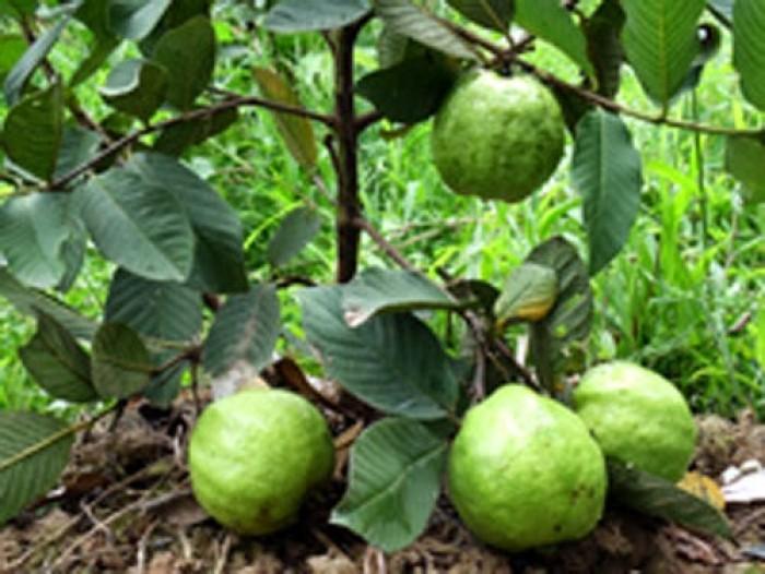 Giống cây ổi nữ hoàng, ổi lê đài loan, ổi ruột đỏ không hạt, ổi tứ mùa, cây giống ổi chất lượng10