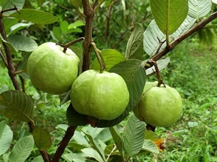 Giống cây ổi nữ hoàng, ổi lê đài loan, ổi ruột đỏ không hạt, ổi tứ mùa, cây giống ổi chất lượng11
