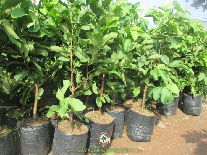 Giống cây ổi nữ hoàng, ổi lê đài loan, ổi ruột đỏ không hạt, ổi tứ mùa, cây giống ổi chất lượng4