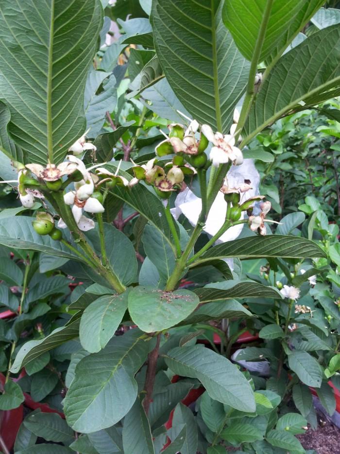 Giống cây ổi nữ hoàng, ổi lê đài loan, ổi ruột đỏ không hạt, ổi tứ mùa, cây giống ổi chất lượng3