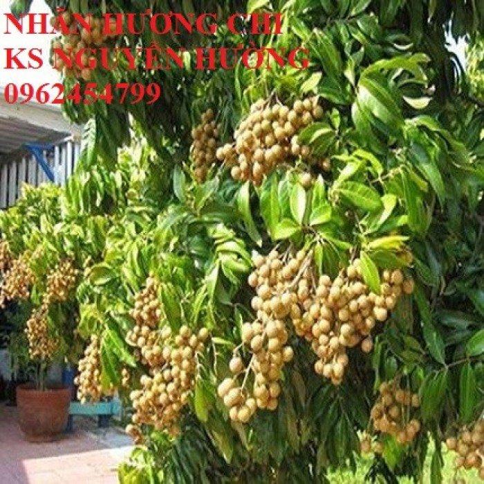 Bán giống cây nhãn miễn thiết, nhãn muộn Hà Tây, nhãn Hương Chi0