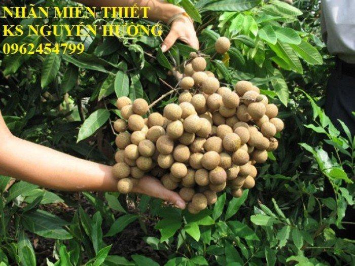 Bán giống cây nhãn miễn thiết, nhãn muộn Hà Tây, nhãn Hương Chi1