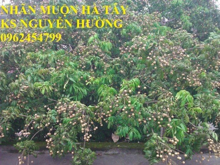 Bán giống cây nhãn miễn thiết, nhãn muộn Hà Tây, nhãn Hương Chi2