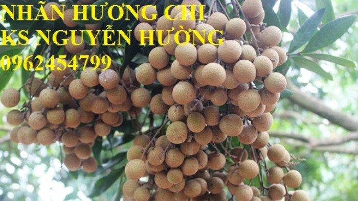 Bán giống cây nhãn miễn thiết, nhãn muộn Hà Tây, nhãn Hương Chi4