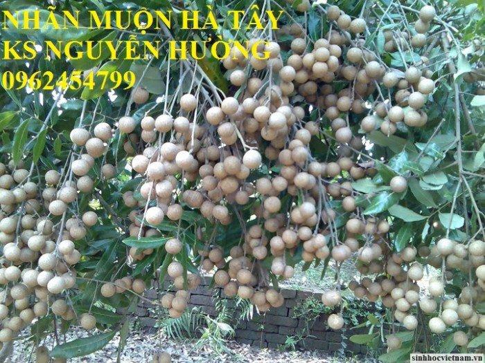 Bán giống cây nhãn miễn thiết, nhãn muộn Hà Tây, nhãn Hương Chi3