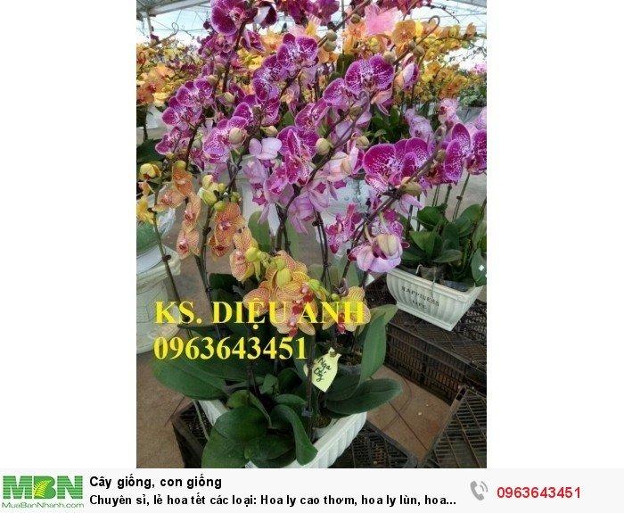 Chuyên sỉ, lẻ hoa tết các loại: Hoa ly cao thơm, hoa ly lùn, hoa tuylip, hoa lan hồ điệp, hoa tiên ông14