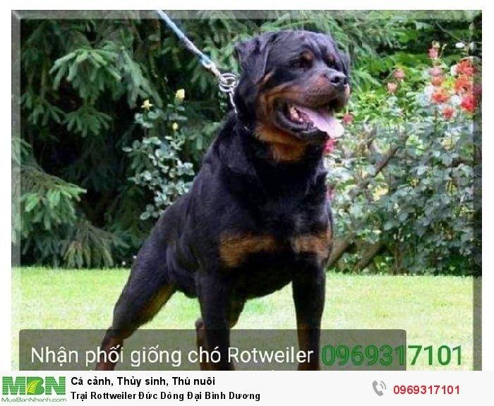 Trại Rottweiler Đức Dòng Đại Bình Dương0