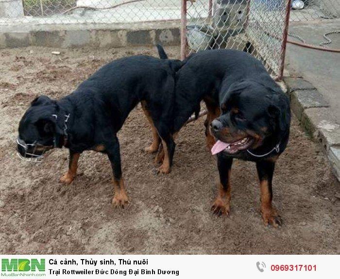 Trại Rottweiler Đức Dòng Đại Bình Dương1