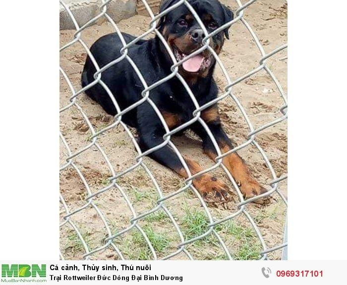 Trại Rottweiler Đức Dòng Đại Bình Dương2