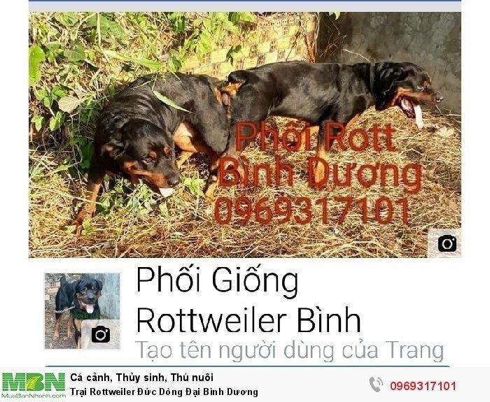 Trại Rottweiler Đức Dòng Đại Bình Dương3