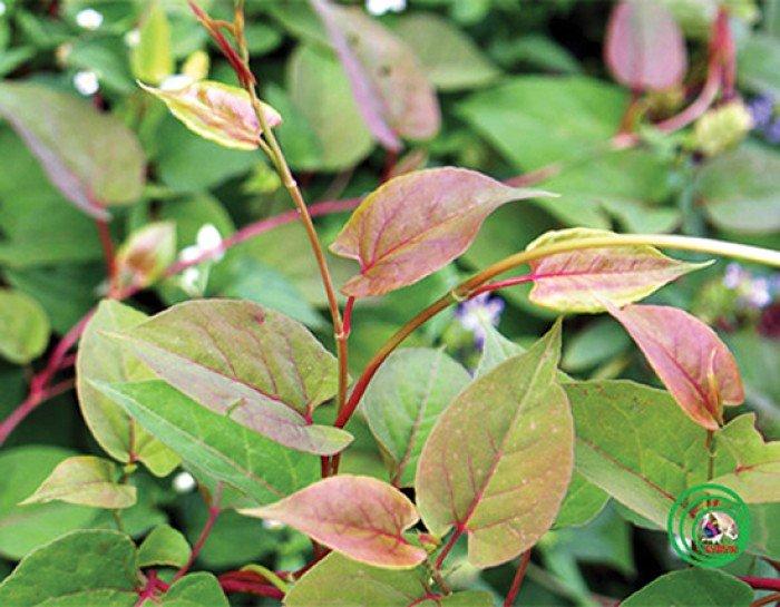 Cung cấp giống cây dược liệu cây hà thủ ô, hà thủ ô đỏ, chất lượng, uy tín2
