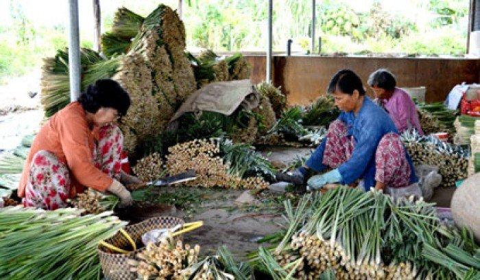 Giống cây sa nhân tím, sa nhân, cây giống dược liệu, số lượng lớn, giao hàng toàn quốc2