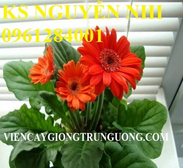 Bán hoa đồng tiền chơi Tết, địa chỉ bán giống hoa chất lượng uy tín - giao cây toàn quốc3