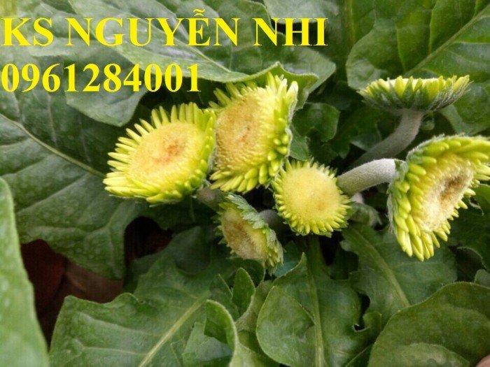 Bán hoa đồng tiền chơi Tết, địa chỉ bán giống hoa chất lượng uy tín - giao cây toàn quốc2