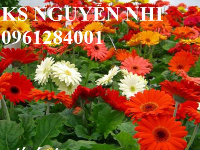 Bán hoa đồng tiền chơi Tết, địa chỉ bán giống hoa chất lượng uy tín - giao cây toàn quốc4