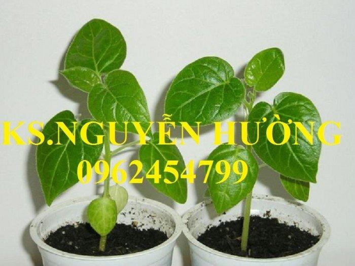 Bán cây giống cà chua thân gỗ, địa chỉ cung cấp cây chất lượng, chuẩn giống - giao cây toàn quốc6