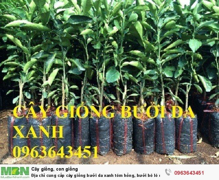 Địa chỉ cung cấp cây giống bưởi da xanh tôm hồng, bưởi bô lô da xanh uy tín, chuẩn giống, chất lượng cao3