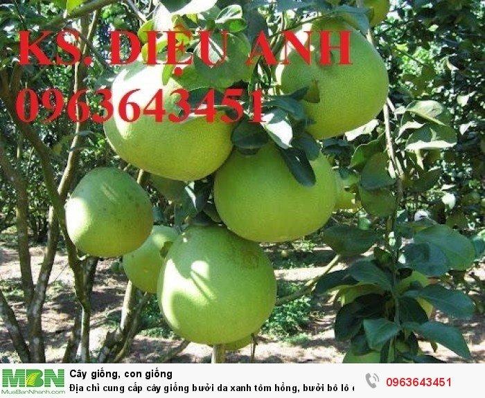 Địa chỉ cung cấp cây giống bưởi da xanh tôm hồng, bưởi bô lô da xanh uy tín, chuẩn giống, chất lượng cao5