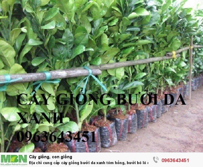 Địa chỉ cung cấp cây giống bưởi da xanh tôm hồng, bưởi bô lô da xanh uy tín, chuẩn giống, chất lượng cao7