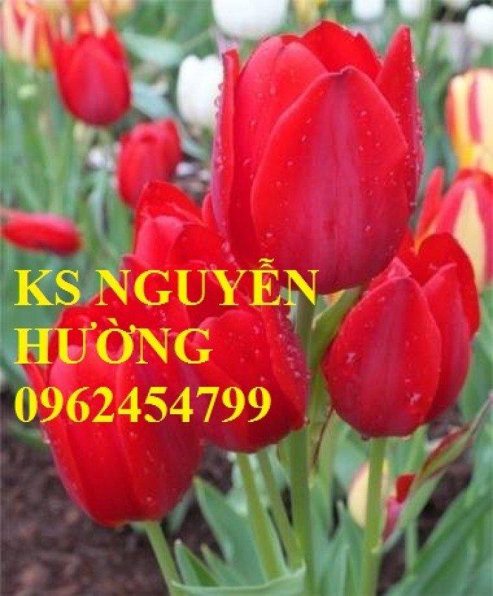 Chuyên cung cấp số lượng lớn cây hoa tuylip, chậu hoa tuylip, cây hoa tuylip chất lượng2