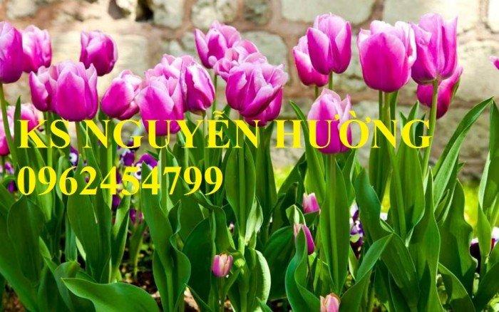 Chuyên cung cấp số lượng lớn cây hoa tuylip, chậu hoa tuylip, cây hoa tuylip chất lượng3
