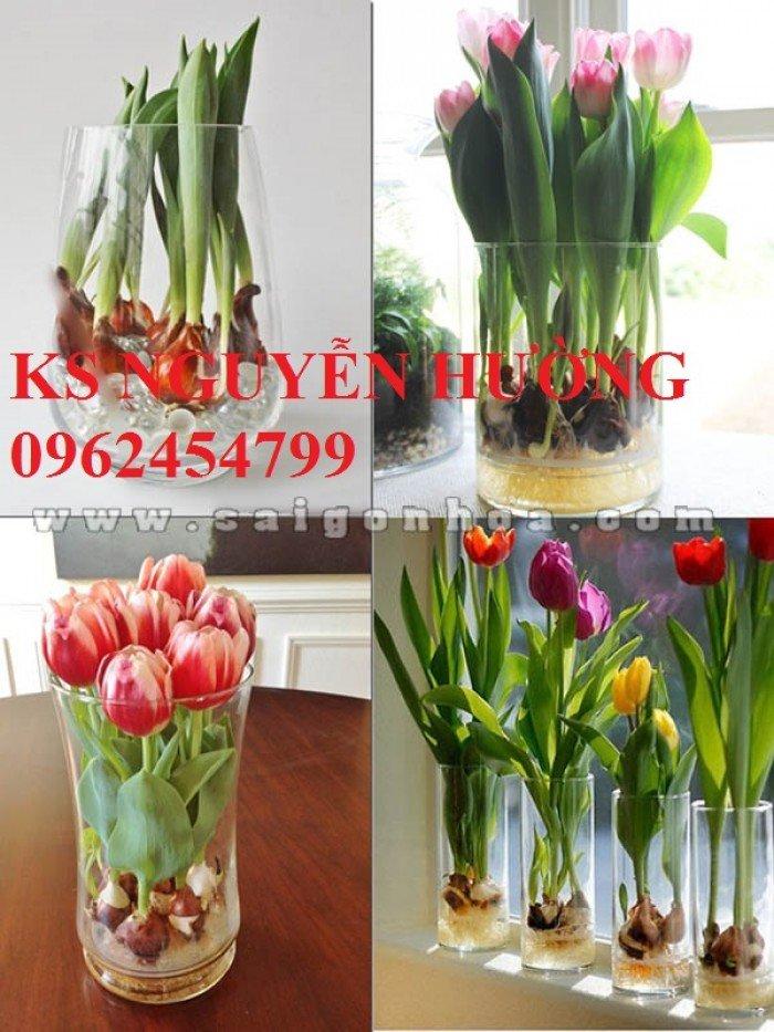 Chuyên cung cấp số lượng lớn cây hoa tuylip, chậu hoa tuylip, cây hoa tuylip chất lượng0