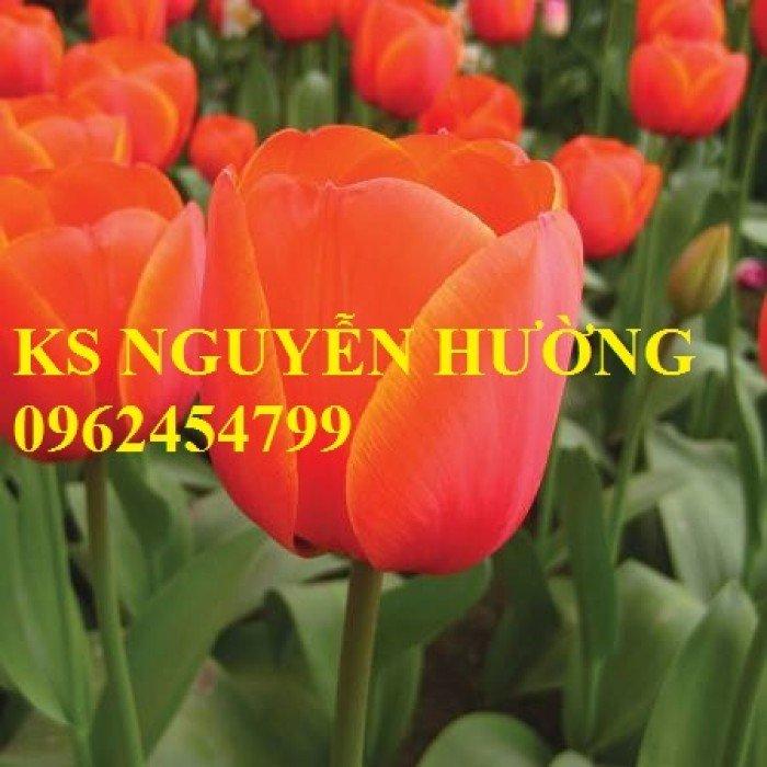 Chuyên cung cấp số lượng lớn cây hoa tuylip, chậu hoa tuylip, cây hoa tuylip chất lượng1