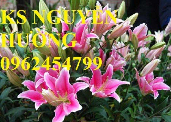 Địa chỉ cung cấp số lượng lớn hoa lyly, hoa lyly cao, hoa lyly lùn chơi tết chuẩn chất lượng2