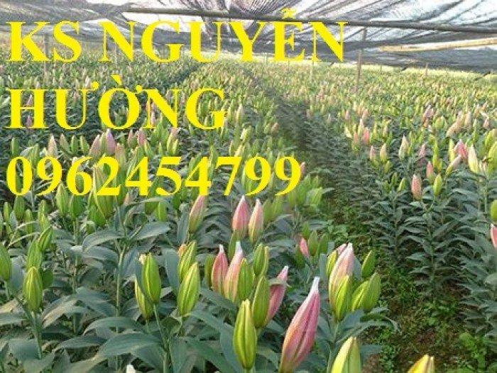 Địa chỉ cung cấp số lượng lớn hoa lyly, hoa lyly cao, hoa lyly lùn chơi tết chuẩn chất lượng4