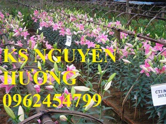 Địa chỉ cung cấp số lượng lớn hoa lyly, hoa lyly cao, hoa lyly lùn chơi tết chuẩn chất lượng1