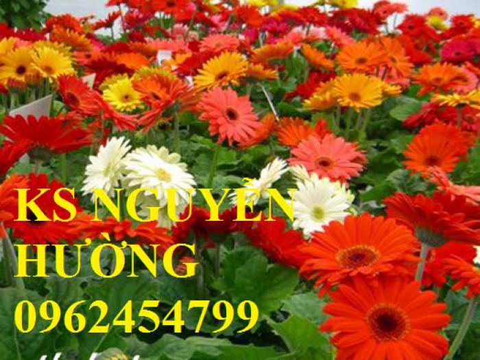 Hoa đồng tiền lùn, hoa đồng tiền cao siêu nụ, bông đại. Địa chỉ cung cấp số lượng lớn hoa cây cảnh chơi tết4