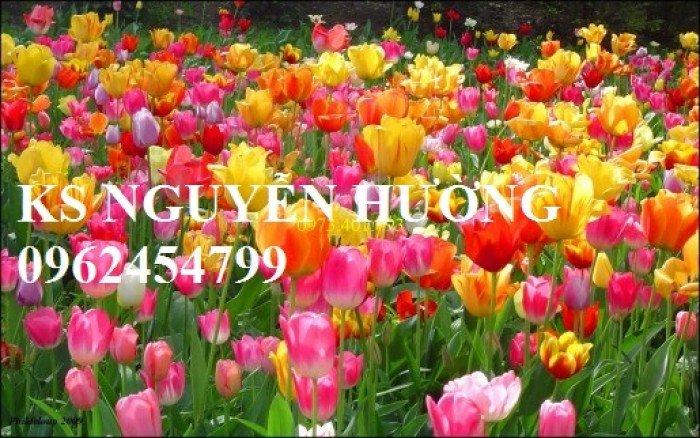 Cung cấp hoa tuylip thành phẩm chơi tết. kỹ thuật trồng và chăm sóc hoa tuylip nở đúng dịp Tết5