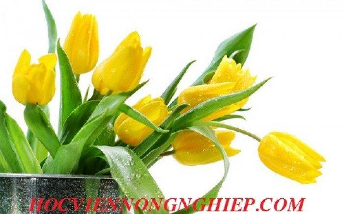 Cung cấp , nhận đặt hàng hoa tuylip phục vụ chơi tết nguyên đán3