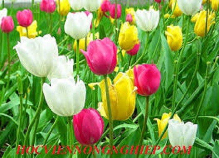 Cung cấp , nhận đặt hàng hoa tuylip phục vụ chơi tết nguyên đán2