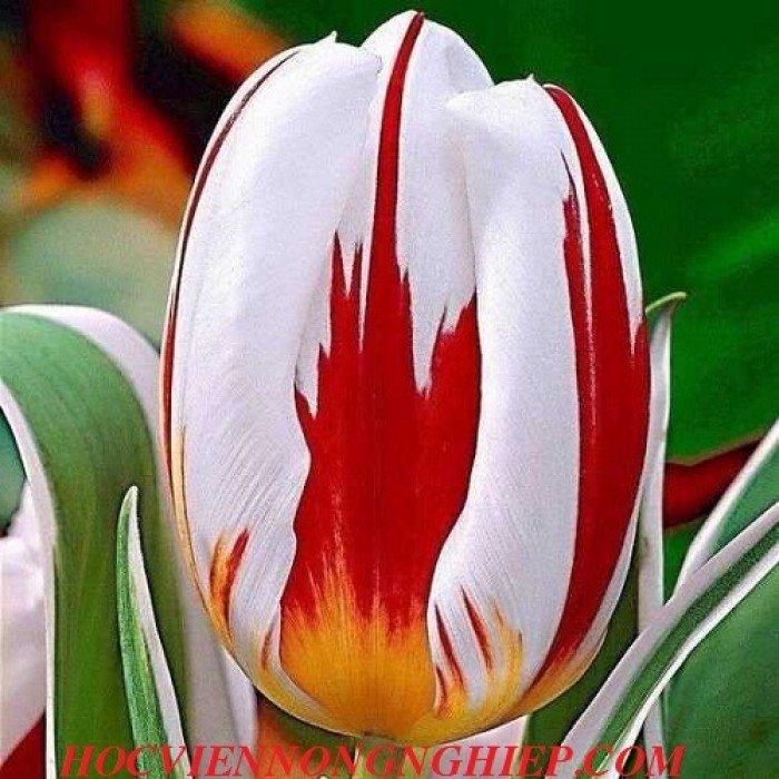 Cung cấp , nhận đặt hàng hoa tuylip phục vụ chơi tết nguyên đán0