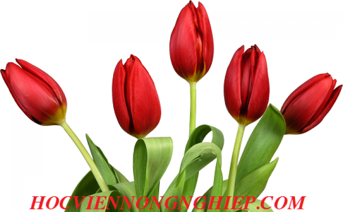 Cung cấp , nhận đặt hàng hoa tuylip phục vụ chơi tết nguyên đán4