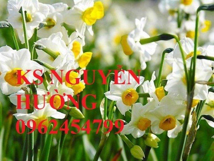 Hoa thủy tiên. kỹ thuật trồng và chăm sóc hoa thủy tiên. địa chỉ cung cấp hoa cây cảnh toàn quốc3