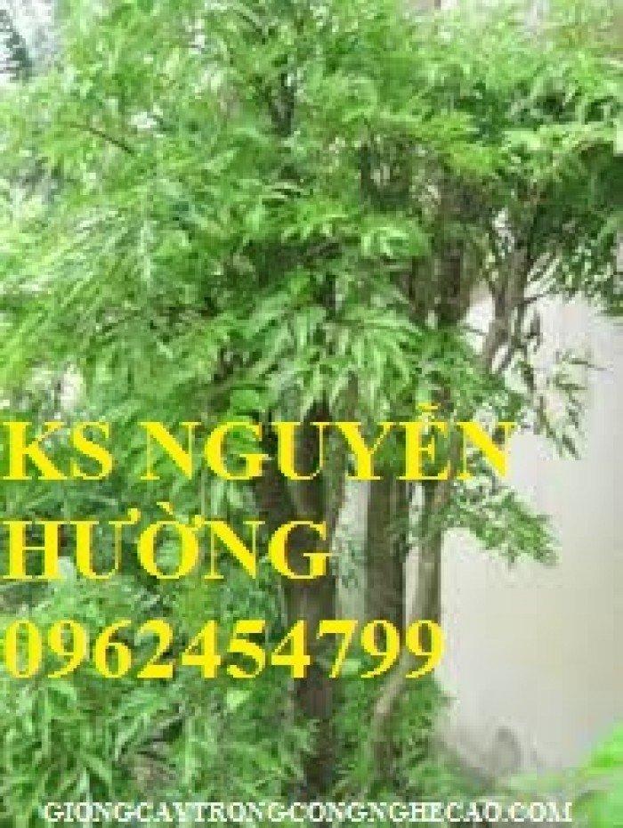 Cung cấp số lượng lớn rễ đinh lăng, cành đinh lăng. địa chỉ cung cấp cây giống, hoa cây cảnh toàn quốc1