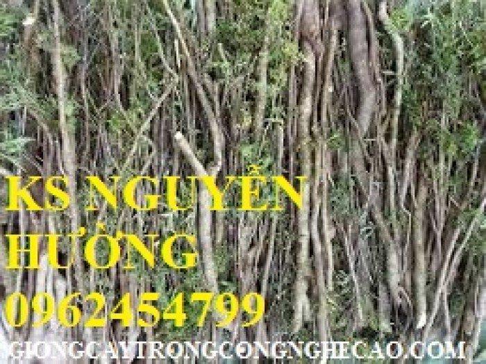 Cung cấp số lượng lớn rễ đinh lăng, cành đinh lăng. địa chỉ cung cấp cây giống, hoa cây cảnh toàn quốc3