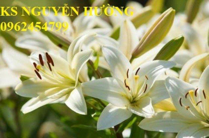 Hoa lyly, ý nghĩa hoa lyly, những điều bí ẩn cần khám phá hoa lyly7