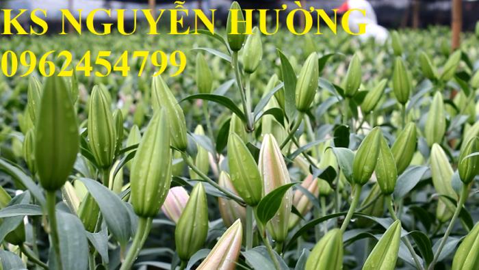 Hoa lyly, ý nghĩa hoa lyly, những điều bí ẩn cần khám phá hoa lyly5