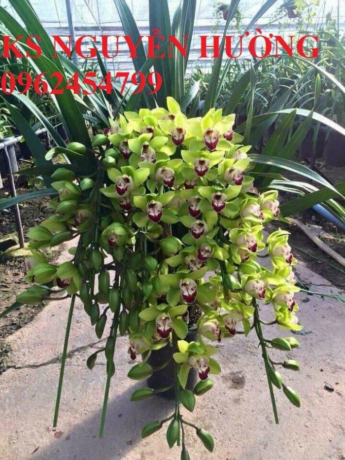 Hoa địa lan, địa lan chơi Tết, địa chỉ cung cấp hoa cây cảnh toàn quốc0