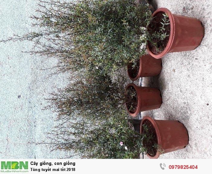 Tùng tuyết mai Tết2